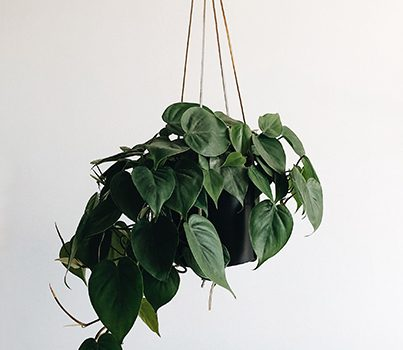 Recommended Air-Purifying Plants